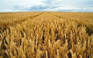 Wheat: demand and price continue to rise